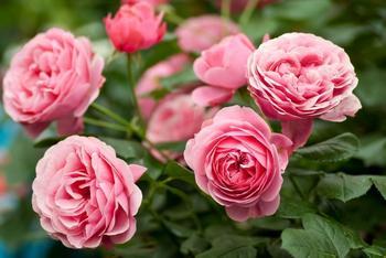 Как ухаживать за розами осенью: посадка, обрезка и подготовка к зиме
