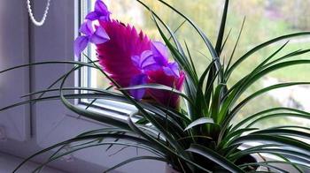 Уход, пересадка и размножение Тилландсии Аниты в домашних условиях