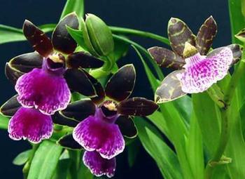 Выращивание орхидеи Зигопеталум в домашних условиях