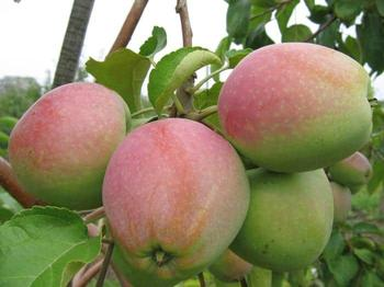 Яблоня «Синап»: описание сорта, фото, отзывы