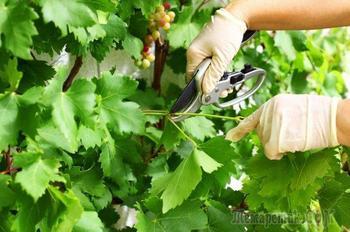Уход за виноградом в августе: 4 самые важные процедуры