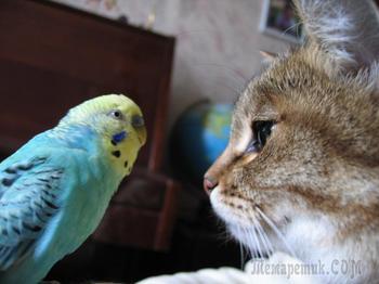 Попугай говорит с котом. Видео, которое заставило смеяться миллионы  людей