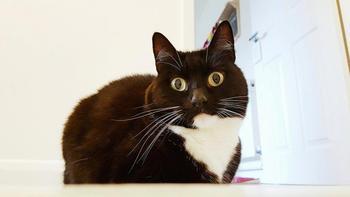 Зельда — ошарашенная кошка, которая в шоке буквально от всего