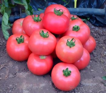 Розовые томаты: популярные сорта
