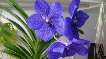 Выращивание загадочной и капризной орхидеи Ванда