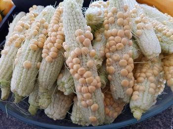 Что с кукурузой? 6 самых частых проблем с початками