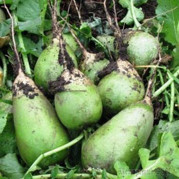 Как вырастить маргеланскую редьку на даче или огороде?