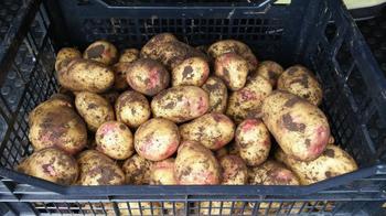 Повелитель просторов: картофель №1 не только в Шотландии