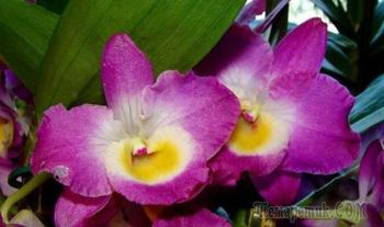 Как ухаживать за благородной орхидеей Дендробиум Нобиле