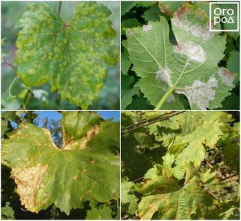 На листьях винограда появились пятна – что делать и чем лечить кусты