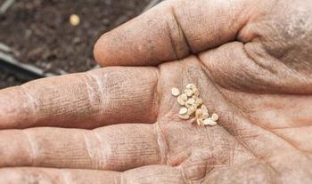 Огородные хитрости: как вырастить крепкую рассаду томатов в домашних условиях