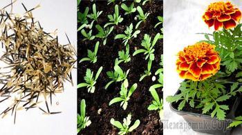 Бархатцы – посадка и уход, посев семян на рассаду