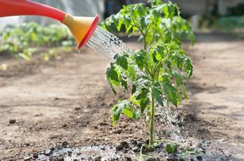 Как правильно поливать помидоры в открытом грунте?