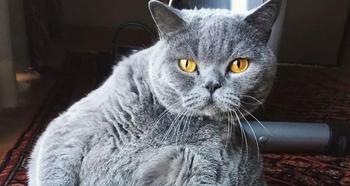 Хозяин попросил усыпить толстого кота
