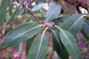 Эвкалипт – растение семейства миртовые