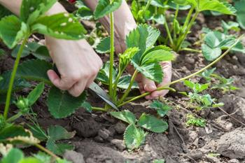 7 растений-агрессоров, молниеносно захватывающих участки