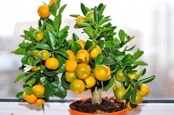 Правила выращивания мандаринового дерева из косточки: пошаговая инструкция