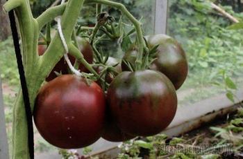Лучшие сорта черных томатов: красота и польза в одном флаконе
