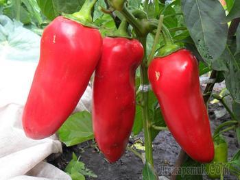 Посадка семян перцев на рассаду! Эффективно и просто!