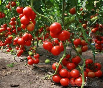 Основные ошибки при выращивании томатов