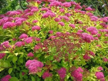 Лучшие осенние спиреи для цветников