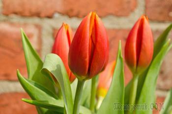 Выгонка тюльпанов к празднику 8 Марта
