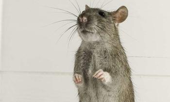 Брат, выручи, будь... крысой!