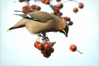 Пернатые «под мухой»: пьяные птицы дебоширят в Миннесоте