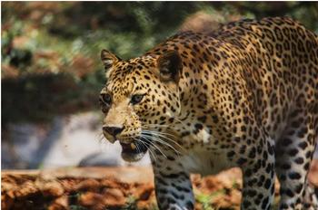 Бездомный пес выжил, проведя 7 часов в одной комнате с леопардом