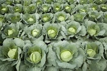 Сорта и гибриды белокочанной капусты для квашения и употребления в свежем виде