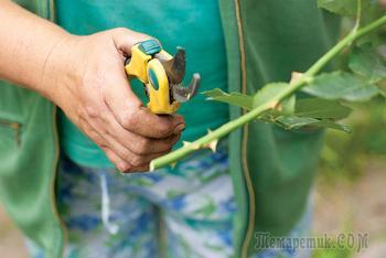 13 признаков некачественных саженцев роз