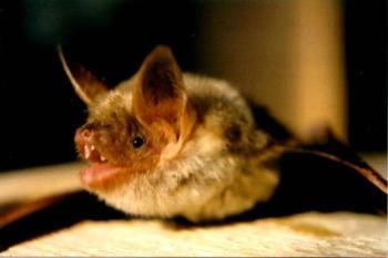 25 невероятных фактов про летучих мышей, которые вы могли не знать!