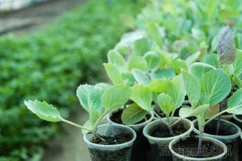 Когда и как высаживать капусту