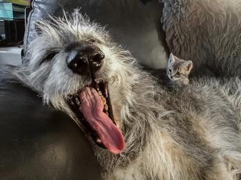 Огромные, смешные, добрые: 45 ирландских волкодавов, которые поразят своими размерами