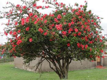 Китайская роза – цветок смерти почему