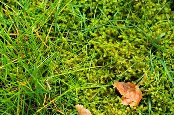 Мох на газоне после зимы: почему появляется, и как избавиться