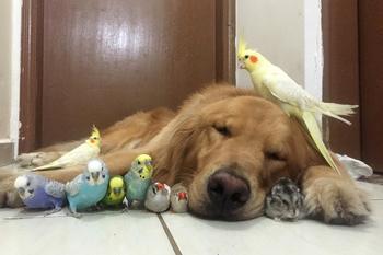 Ретривер Боб и его друзья – звезды Инстаграма