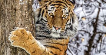 Как зоозащитники чуть не уничтожили последних амурских тигров
