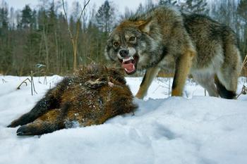 Привада на волка: как это делают профессионалы
