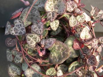 Церопегия Вуда: змеиная лиана украсит ваш дом