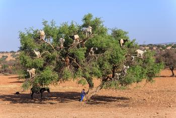 Козы, пасущиеся на деревьях, Марокко