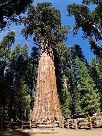 Удивительное растение-гигант – дерево «Генерал Шерман»