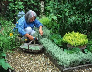 Бордюры из пряных трав – декор участка с пользой для здоровья