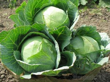 Белокочанная капуста: лучшие сорта