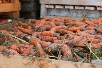 6 типичных проблем, которые могут возникнуть при выращивании моркови