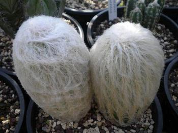 Пушистый кактус родом из Перу