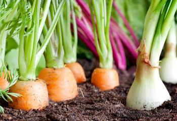 Почему картофель нельзя сажать с томатами, а огурцы - с баклажанами: совместимость овощей на грядке