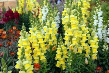 17 однолетников с желтыми и оранжевыми цветками – пустите в сад солнце