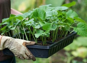 Как посадить огурцы в теплице правильно
