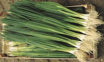 Характеристика и описание сорта лука Параде, выращивание и уход